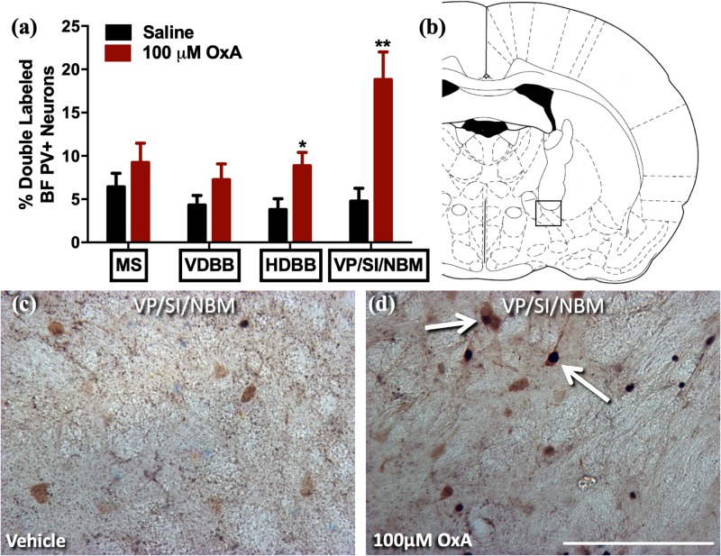 Effects of Intranasal Orexin-A (Hypocretin-1) Administration on Neuronal Activation, Neurochemistry, and Attention in Aged Rats.